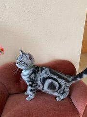 Bkh Kitten Whiskas Kitten Katzenbaby -