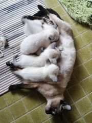 Siam Thai Katzen Babys