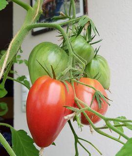 Bild 4 - Set1 Tomate - Ochsenherz - Cuor di - Lauterach