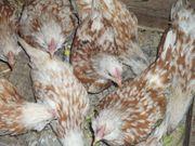 Hühnerküken Junghähneküken Bruteier