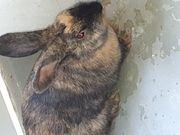 Weibliches Kaninchen