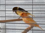 Kanarienvogel männl 7 Monate