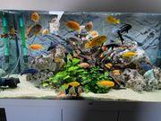 Aquarium 350l Auflösung Malawi Barsch