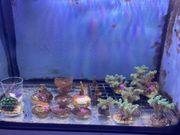 SPS Korallen und Zoanthus abzugeben -