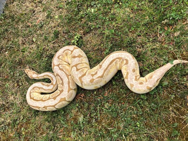 Königspython Lesserbee Python regius 1