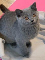 Süßes BKH Kitten