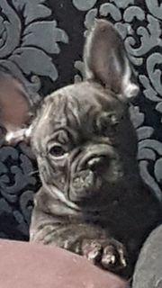 Französische Bulldogge Rüden
