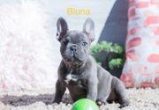 Französische Bulldoggen Welpen in Blau