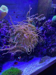 Meerwasser Quadricolor Anemone