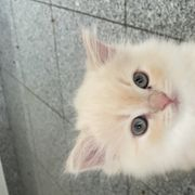 Babykatzen Main-Coon Perser
