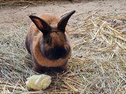 Kaninchen Rammler Thüringer