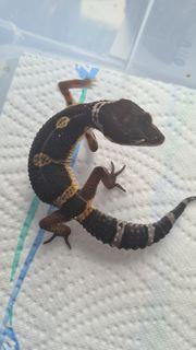 leopardgecko Black Night Pur TSM