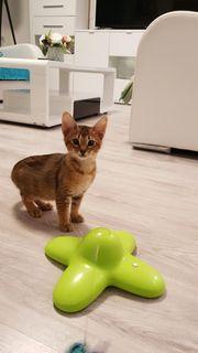 Abessinier Bengal Edelmix Kitten