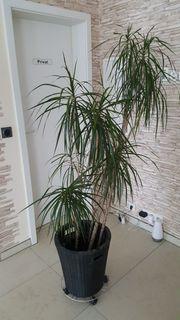 Drachenbaum 5 stämmig hoch gewachsen