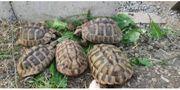 Gruppe Griechische Landschildkröten