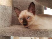 Thaikatze Kitten Kater Katze