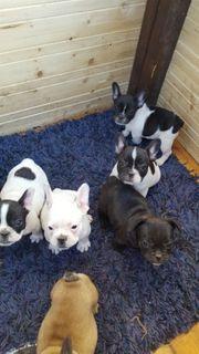 Französische Bulldoge 5 Welpen