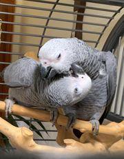 Graupapagei Paar