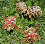 Dalmatinische Landschildkröten NZ 2019