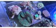 verschiedene Ableger bzw Korallen Zoas
