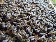 Bienen Ableger Wirtschaftsvolk 2021