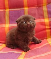 KITTEN Scottish Fold reinrassig und