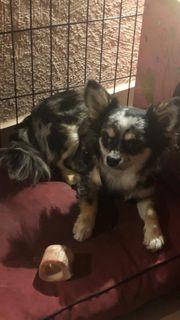 Chihuahua Rüde Merle