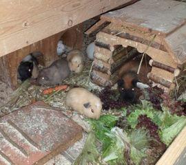 Bild 4 - Meerschweinchen Frühkastrate aus Vereinszucht - Bechtheim