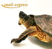 Rhinoclemmys funneria - Bauchstreifen-Erdschildkröte