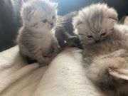Bkh Silver shaded tabby kitten