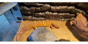 Schönes Leopardgecko Weibchen