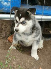 Reinrassige Siberian Husky Welpen