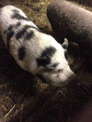 Mini Schwein Sauen