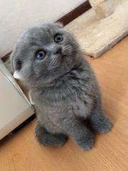 Reinrassige BKH Kitten Scottish Fold