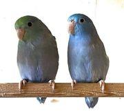 Blaugenicksperlingspapageien