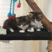 2 reinrassige Maine Coon Kitten