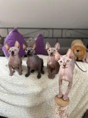Canad Sphynx Kitten