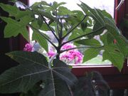 Blickfang überall Anden-Papaiea- Pflanze Heilpflanze