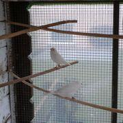 Männlicher Kanarienvogelweiß-rezesiv