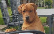 Labrador Deckrüde SAMU od Himalajskeho