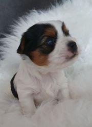 Biewer-Yorkshire Terrier aus Liebhaber - Körzucht