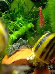 Aquarium Schnecken Paradiesschnecken