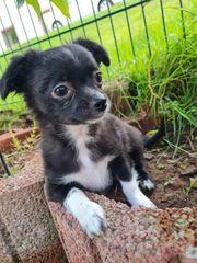 Noch drei tolle Chihuahua Langhaar