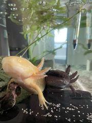Axolotl suchen liebevolles Zuhause