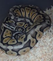 Superpastell Yellowbelly