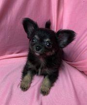 Typvolle Langhaar Chihuahua Welpen