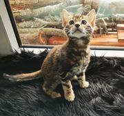 Bengal-Katzen F6 Generation - Rarität