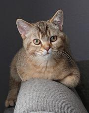 British Shorthair BKH Kitten mit