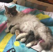 Wunderschöne Selkirk Rex Kitten