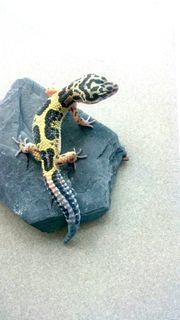 Leopardgecko Männchen Bold Stripe Bandit